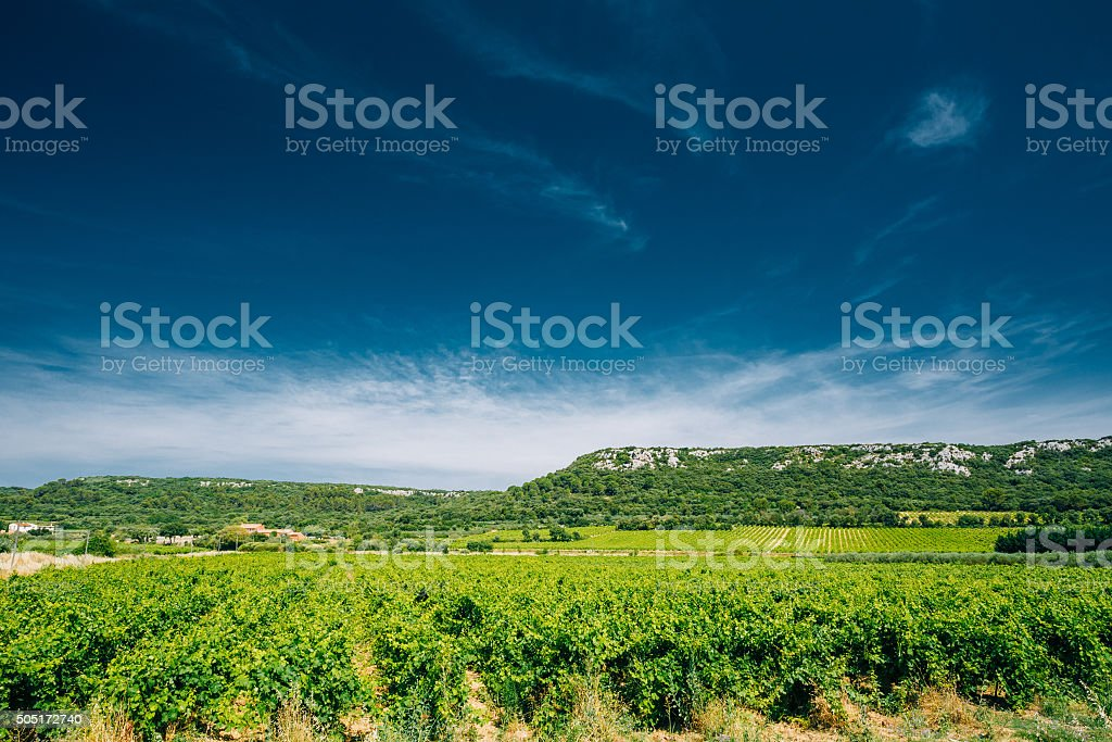 Vineyard of the South of France. Sunny day. Copy space stock photo