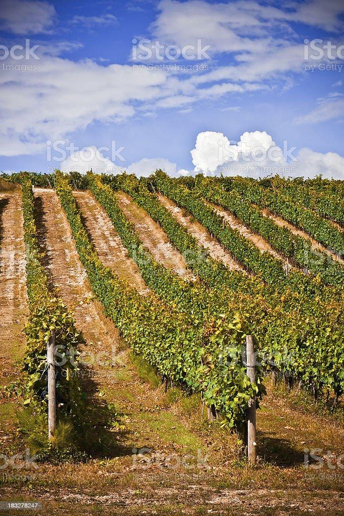 Vineyard of Tuscany, Chianti Region in Italy stock photo