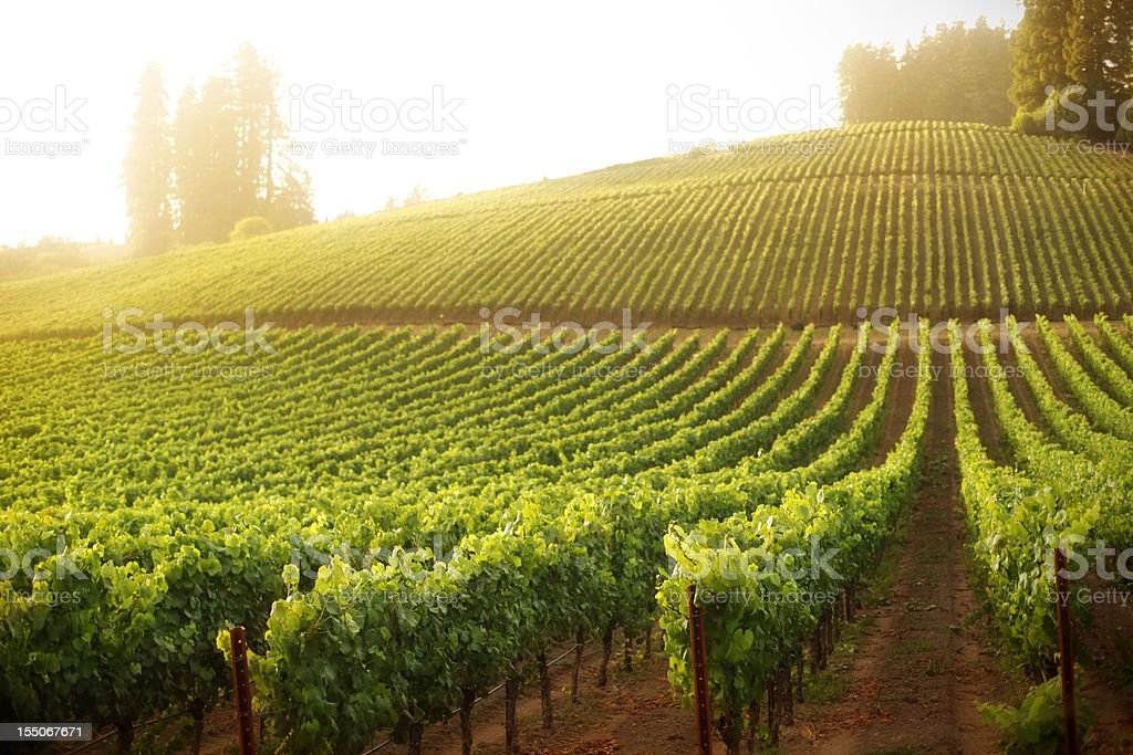 Vineyard on a hillside at sunrise or sunset stock photo