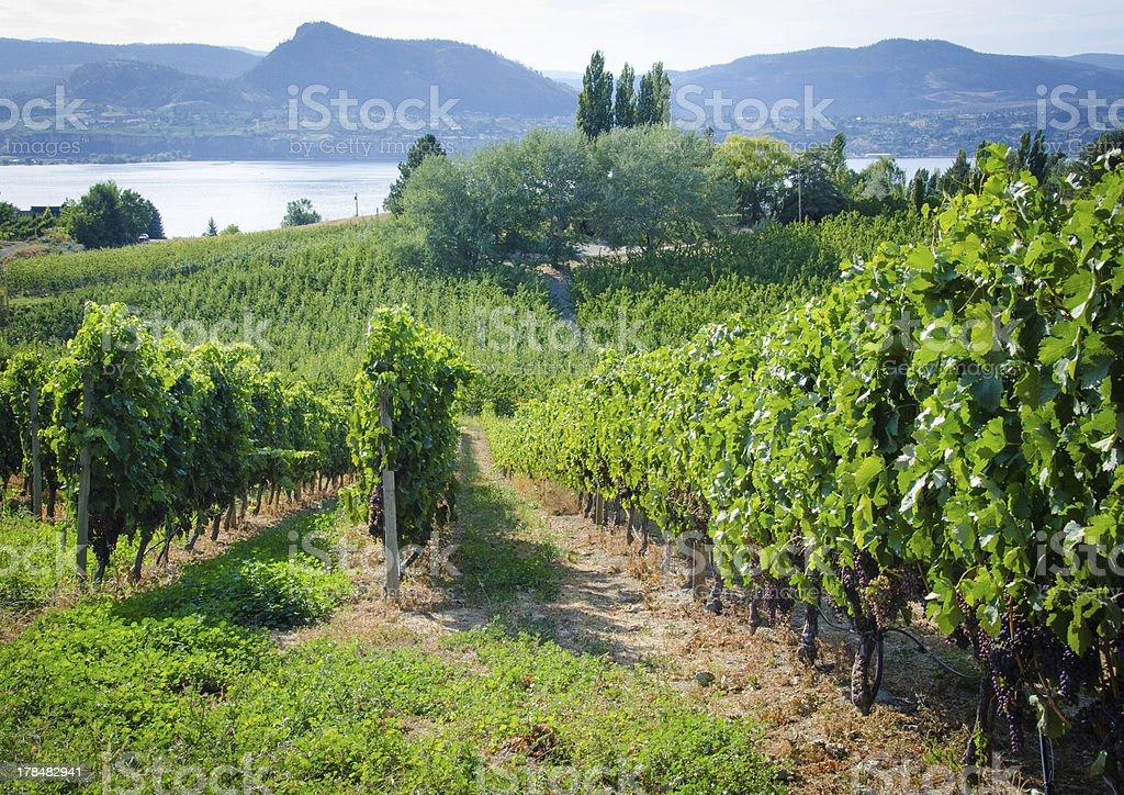 Vineyard on a sunny day stock photo