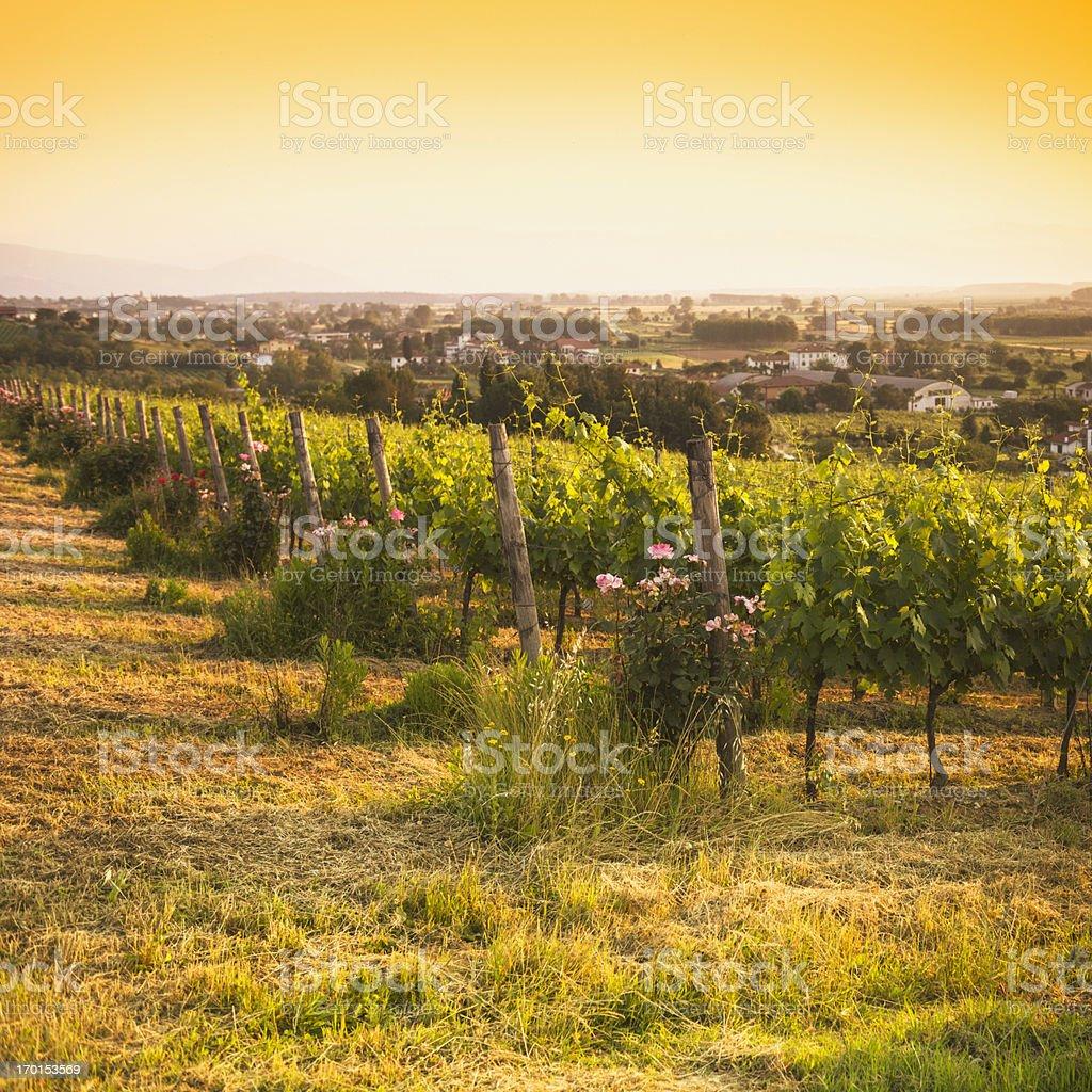 Vineyard on Chianti Region hills - Italy royalty-free stock photo