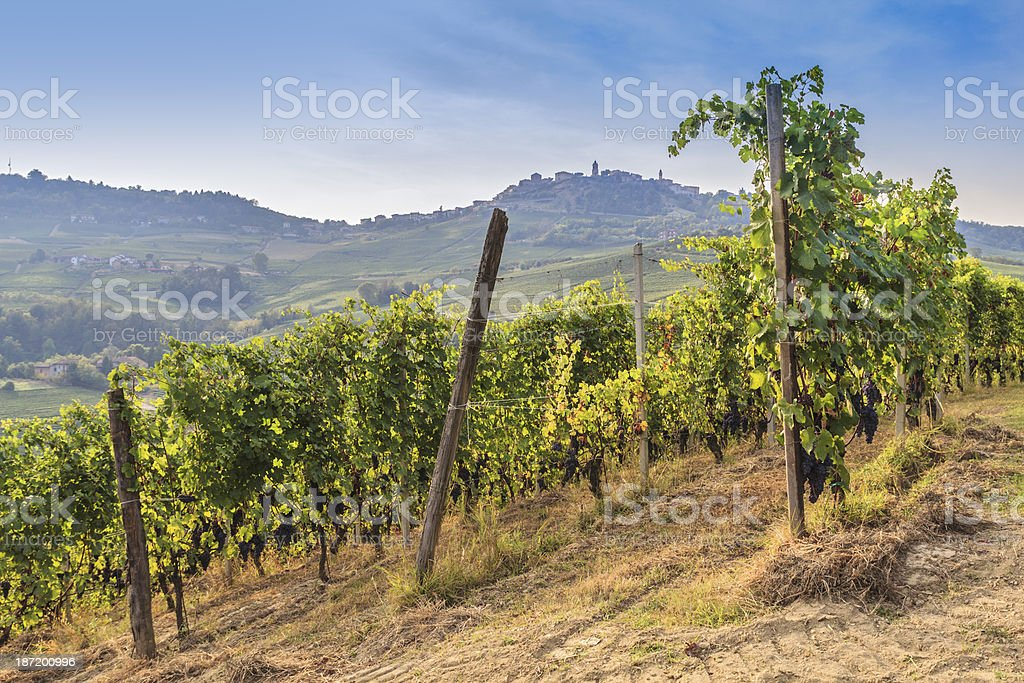 Vineyard On Hill. stock photo