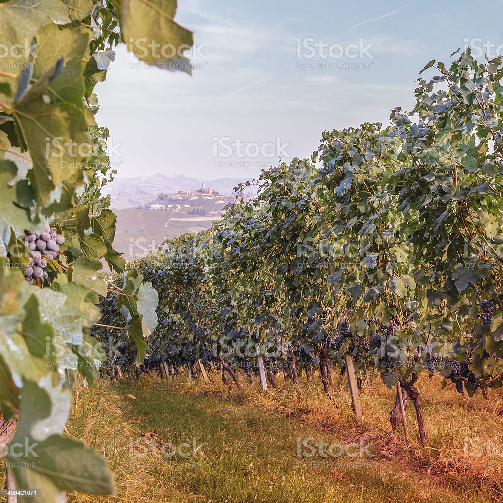 Vineyard On Hill. stock photo