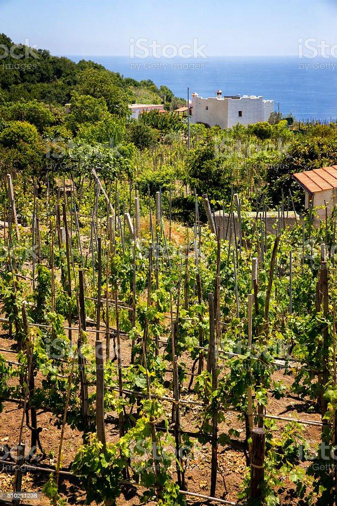 Vineyard on Island of Ischia Italy stock photo