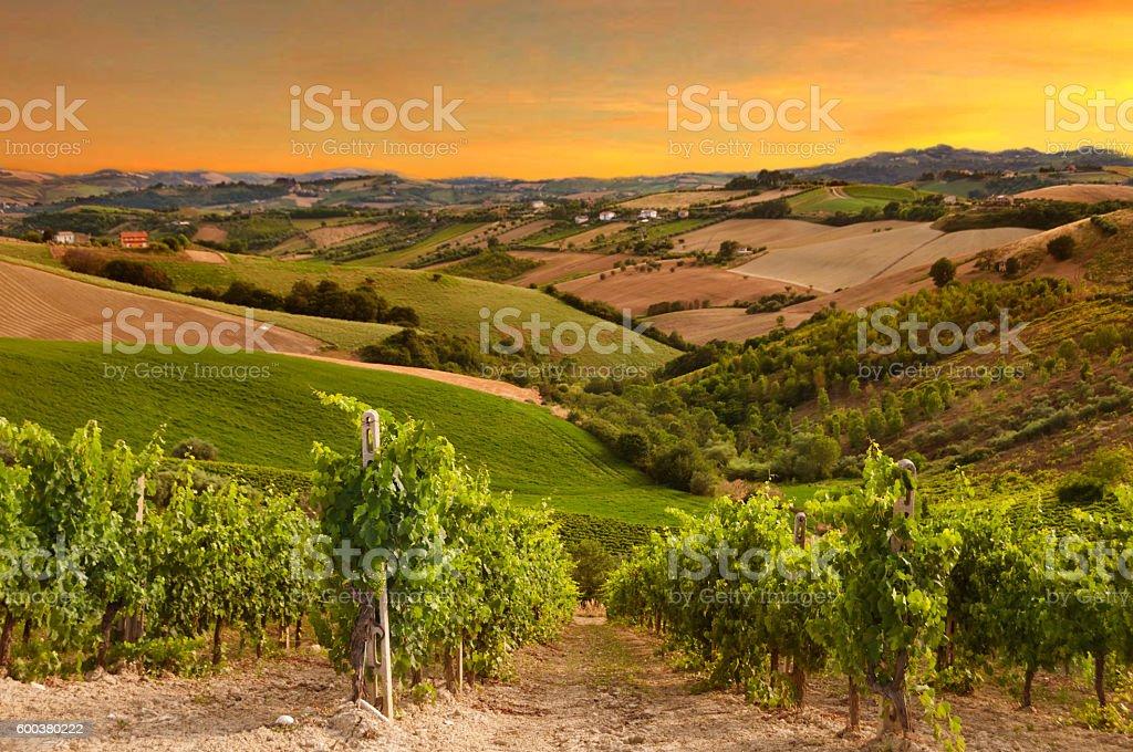 Vineyard on sunset stock photo