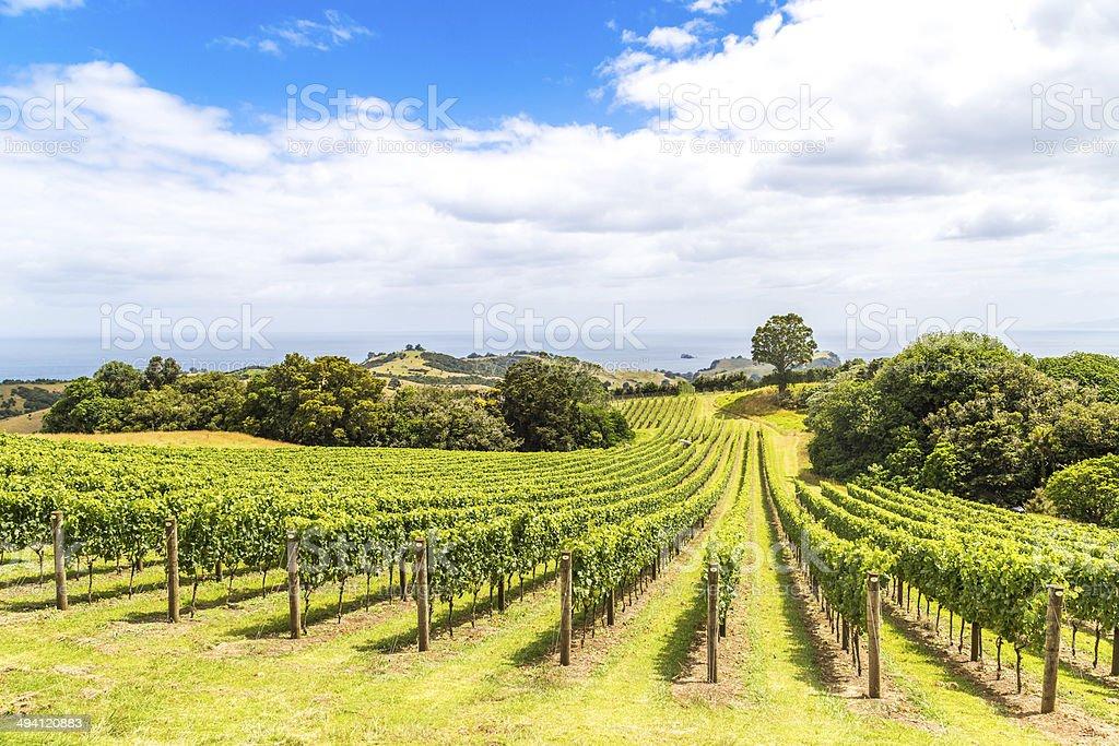 Vineyard on the green hillside stock photo