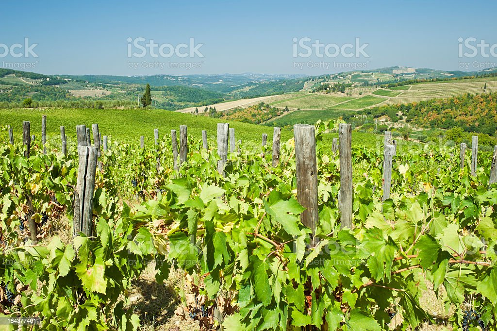 Vineyard On Tuscany Hill, Chianti Region royalty-free stock photo