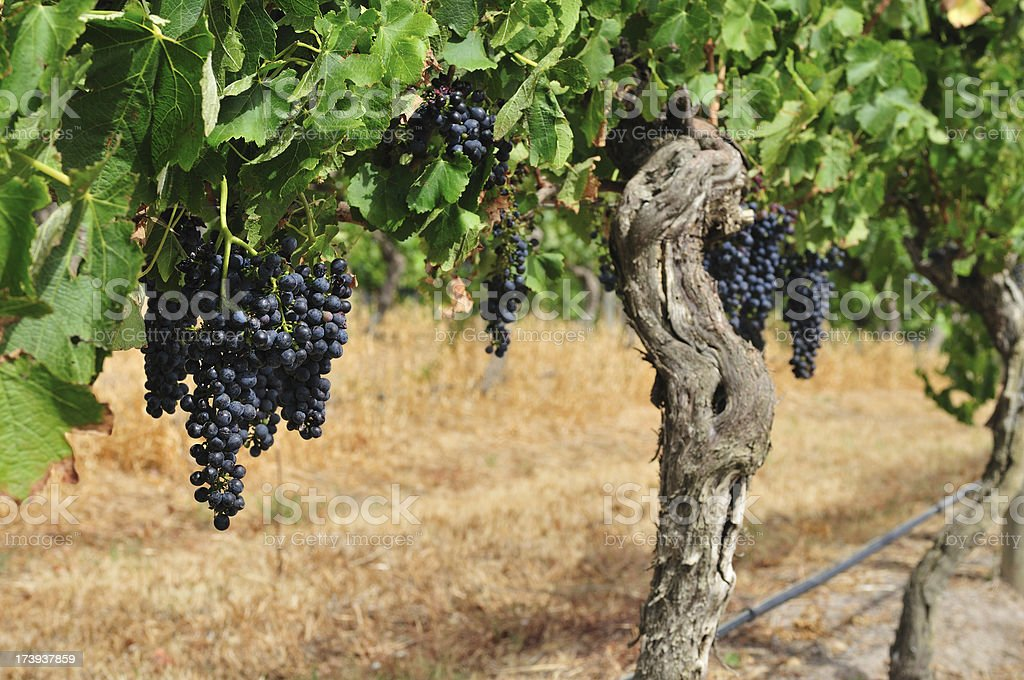 Vineyard Organic Grapes for Red Wine royalty-free stock photo