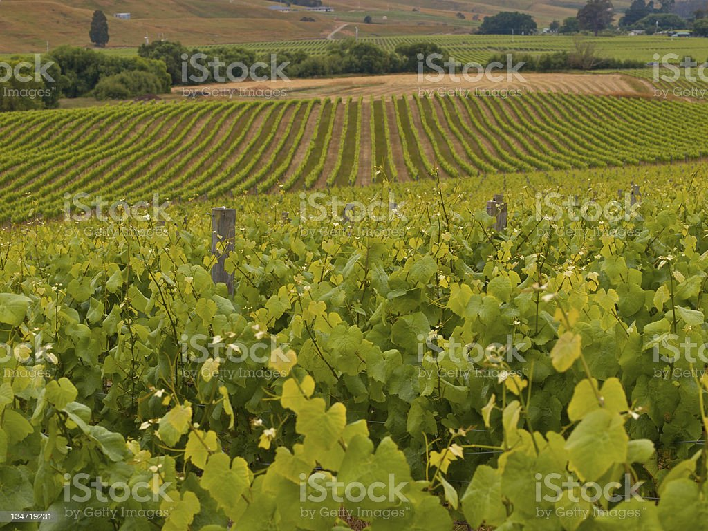 Vineyard overview stock photo