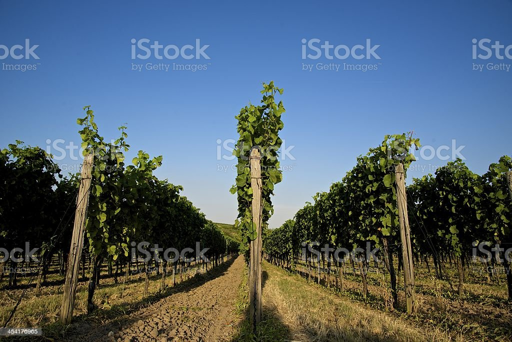 Vineyard - Palatinate royalty-free stock photo
