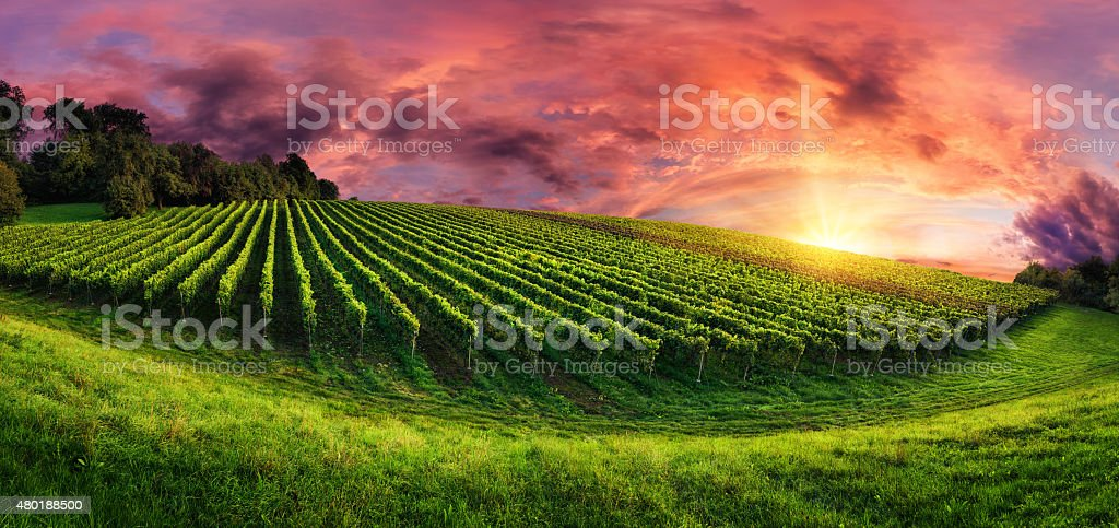 Vineyard panorama at magnificent sunset stock photo