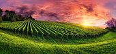 Vineyard panorama at magnificent sunset