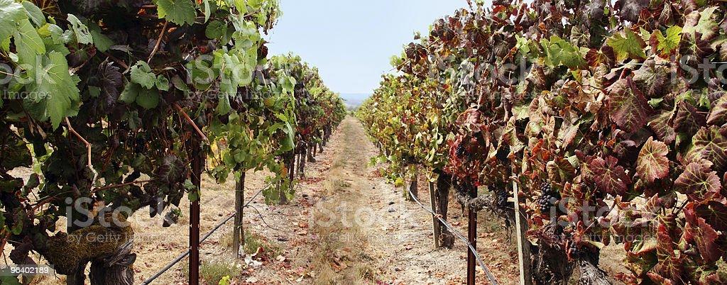 Vineyard panorama royalty-free stock photo