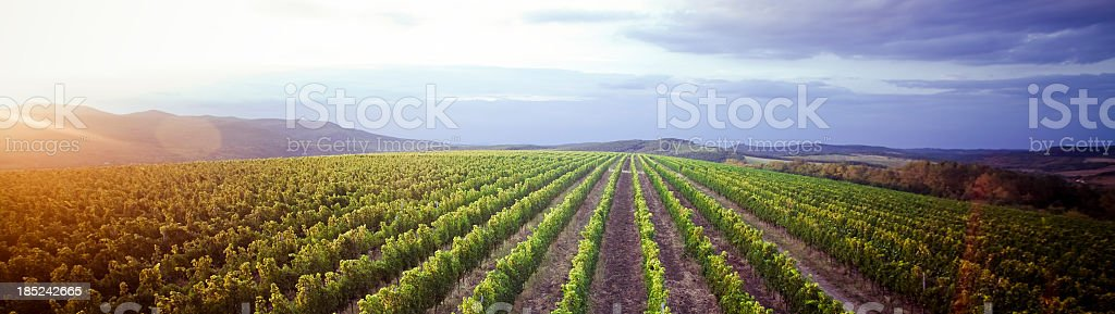 Vineyard panorama sunrise stock photo