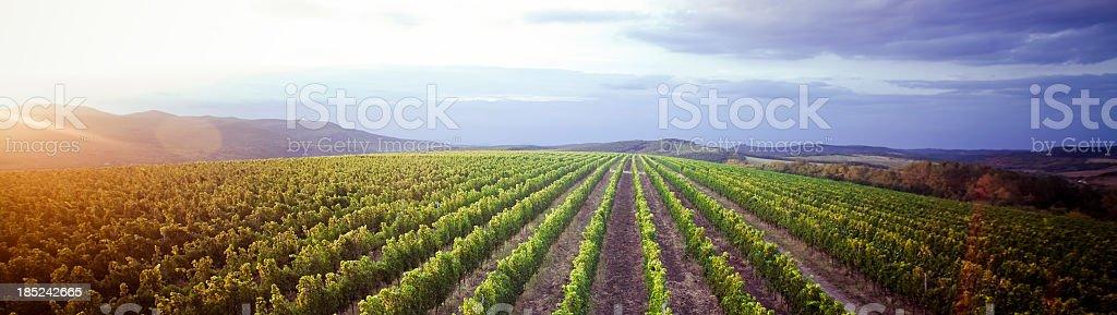 Vineyard panorama sunrise stock photo