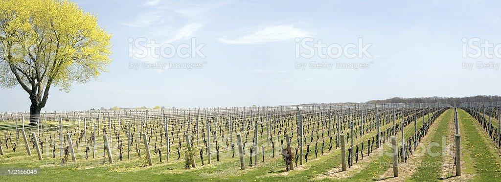 Vineyard Panoramic stock photo