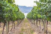 Vineyard pathway