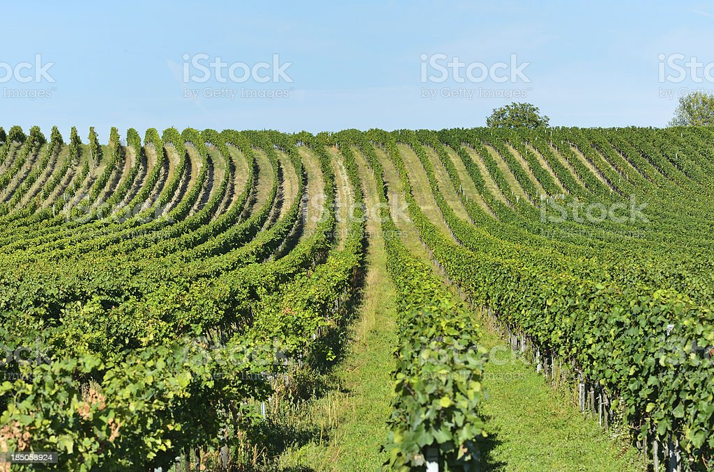 Vineyard royalty-free stock photo