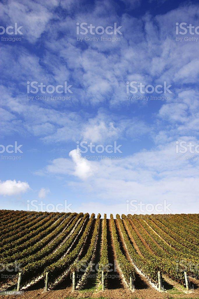 Vineyard - Portrait stock photo