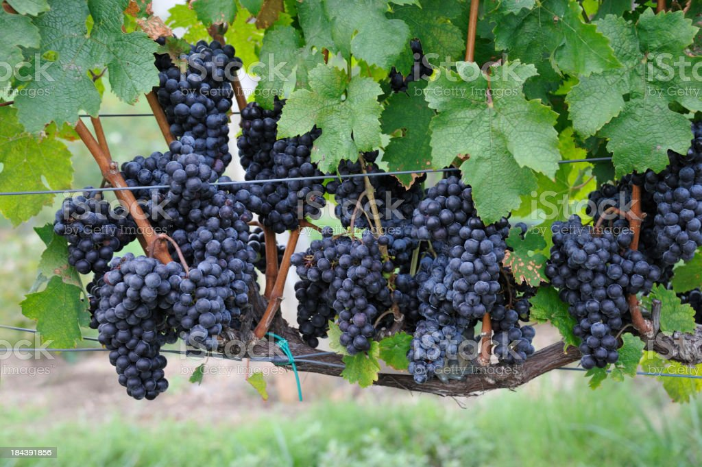 Vineyard ready for harvest with heavy red wine grape clusters stock photo