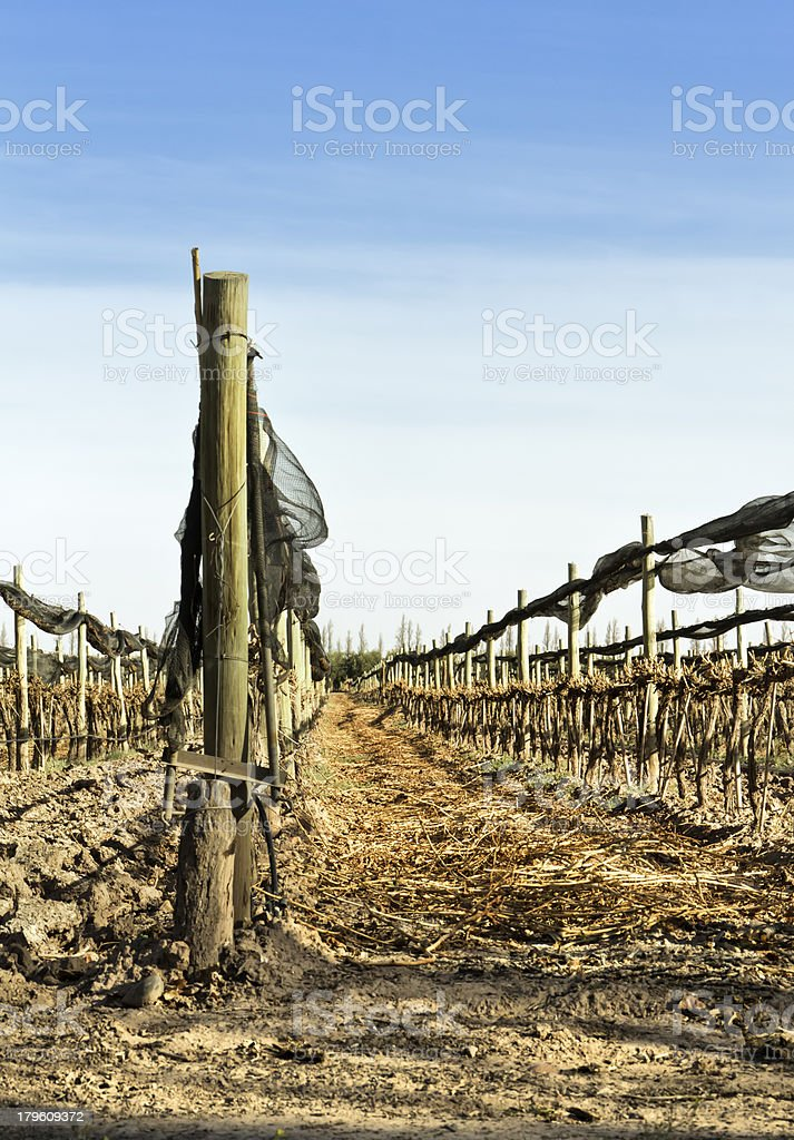 Vineyard recently pruned royalty-free stock photo