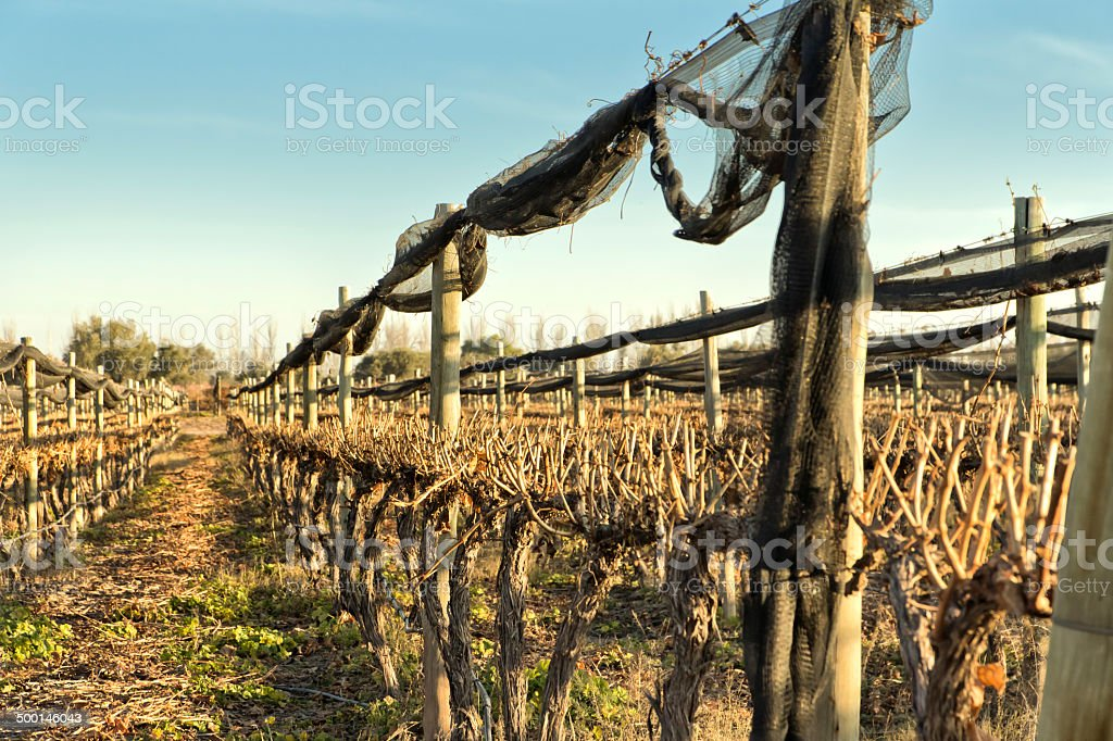 Vineyard recently pruned stock photo