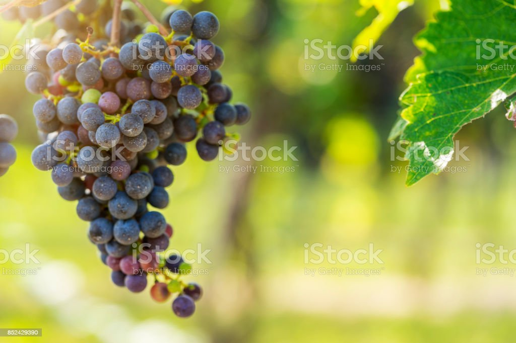 Vineyard red grapes on the vine stock photo