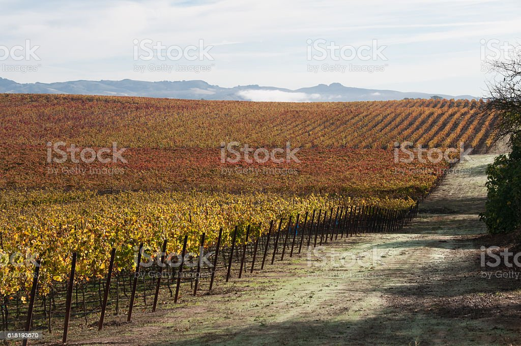 Vineyard road along multicolored grape vines in fall color stock photo