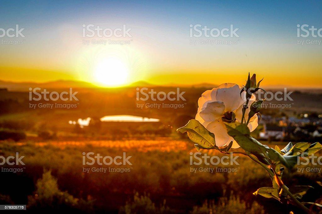 Vineyard rose stock photo