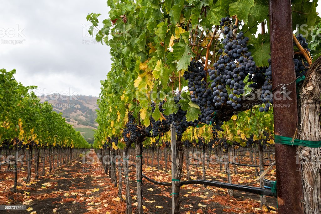 Vineyard row in autumn with red wine grapes at harvest stock photo