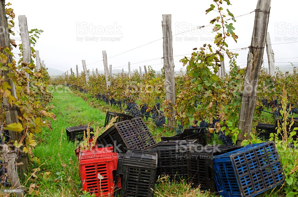Vineyard row with wooden posts and crates during stock photo