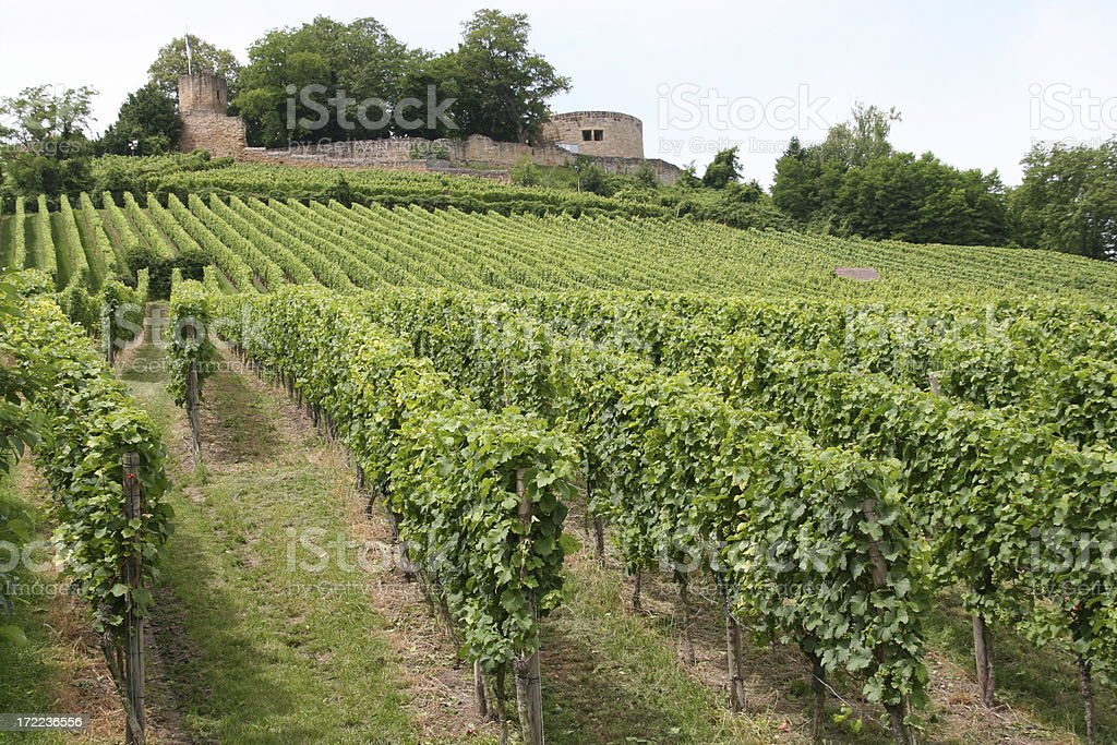 vineyard rows and old ruine of a castle stock photo