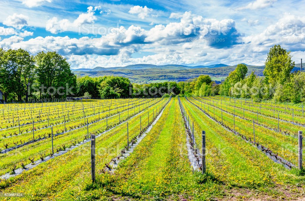 Vineyard rows during summer in Ile D'Orleans, Quebec, Canada with view of Saint Lawrence River stock photo
