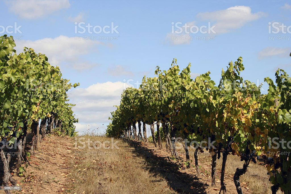 Vineyard Rows on Top of a Hill royalty-free stock photo