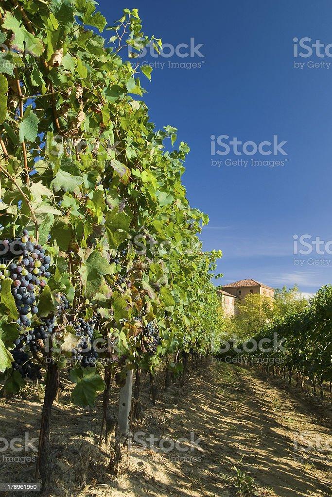 Vineyard rows royalty-free stock photo