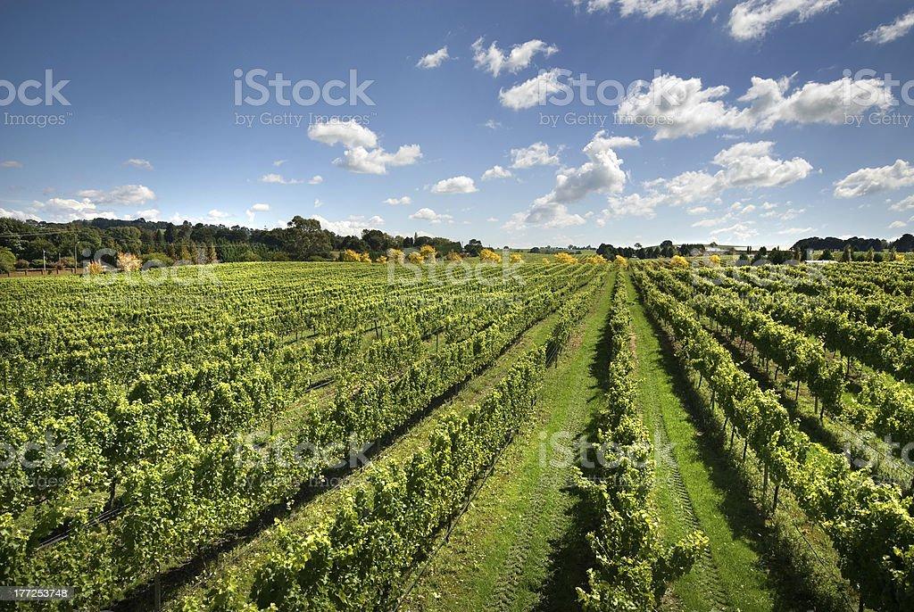 Vineyard Scene stock photo
