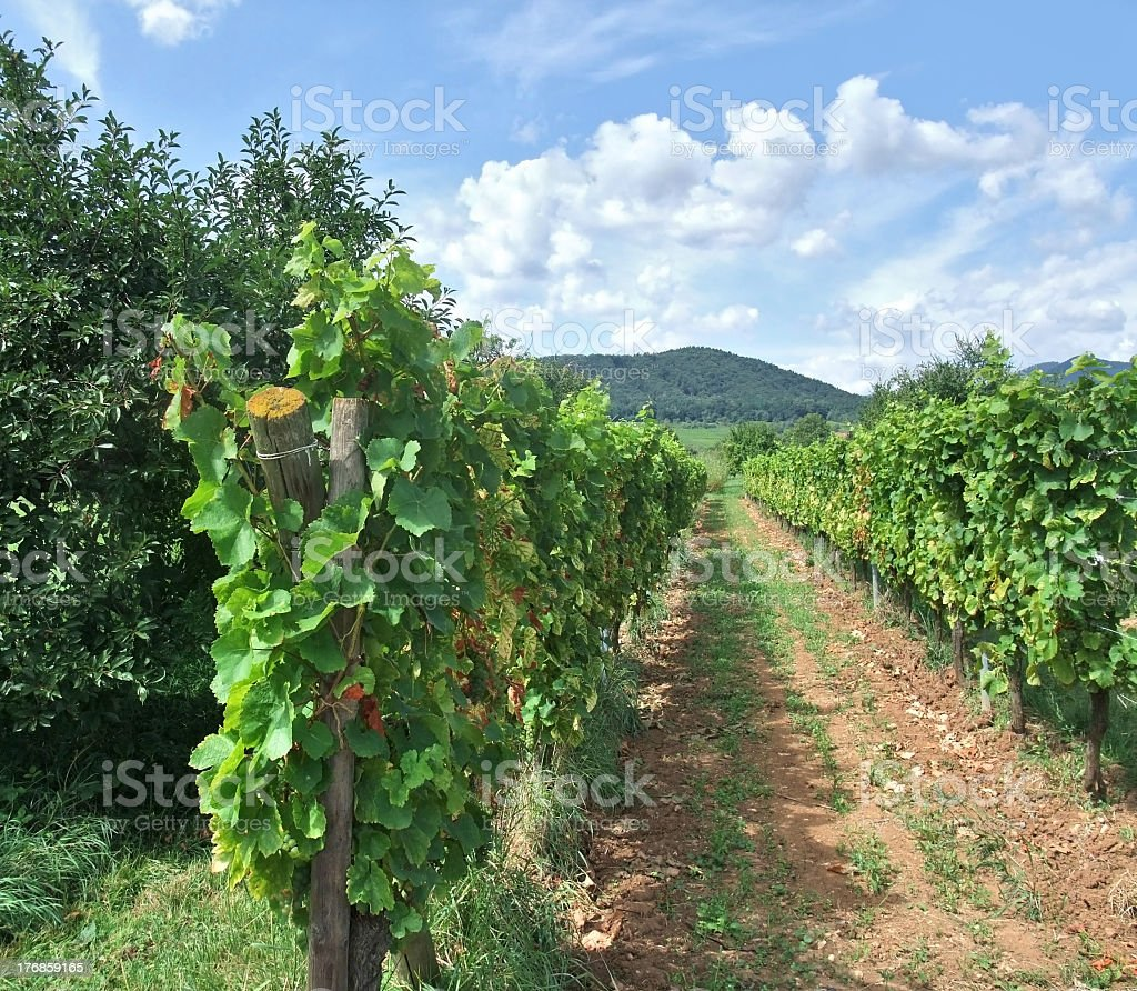 vineyard scenery in Alsace stock photo