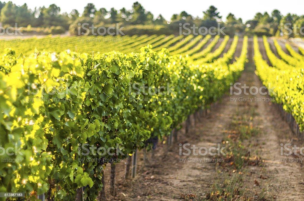 vineyard selective focus bokeh copy space morning spring summer stock photo