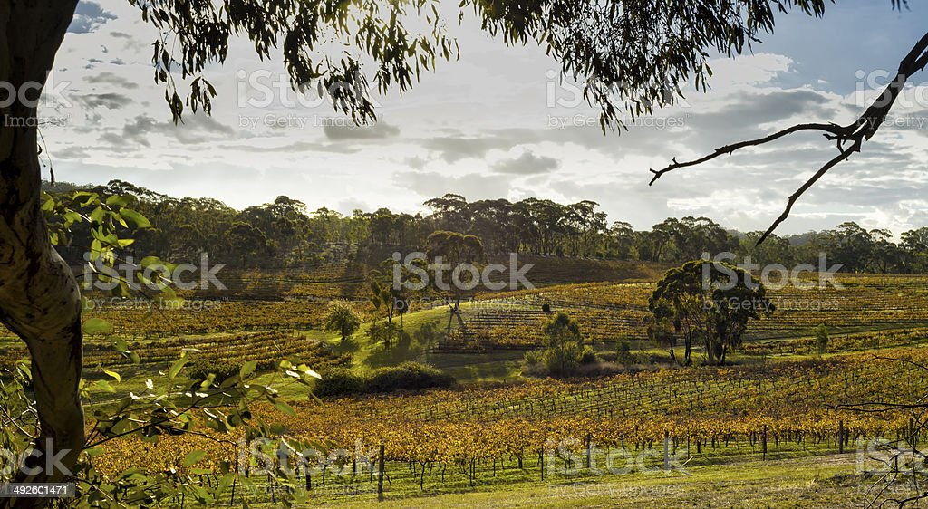 Vineyard South Australia stock photo