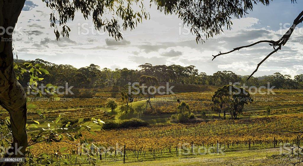 Vineyard South Australia stock photo