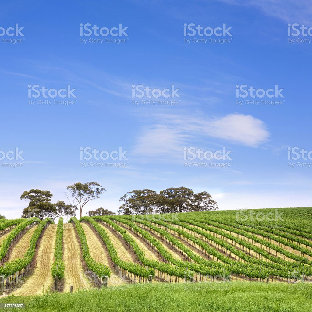 Vineyard South Australia Square royalty-free stock photo