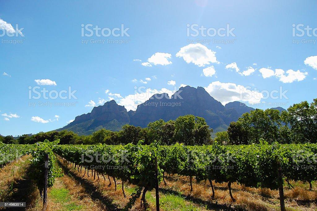 Vineyard - Stellenbosch - South Africa stock photo