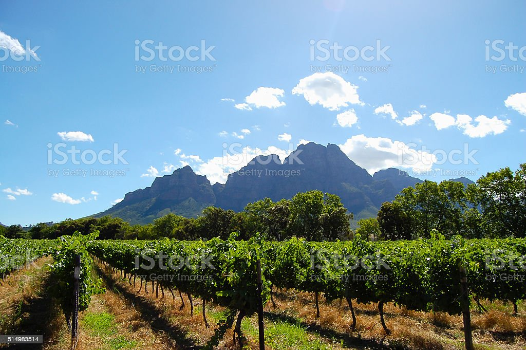 Vineyard - Stellenbosch - South Africa stock photo