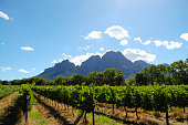 Vineyard - Stellenbosch - South Africa
