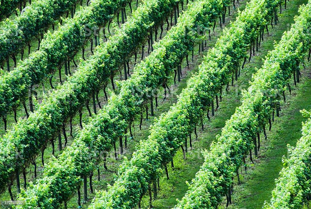Vineyard Stripes royalty-free stock photo