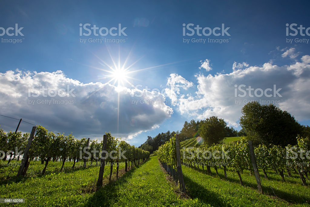 vineyard styria stock photo