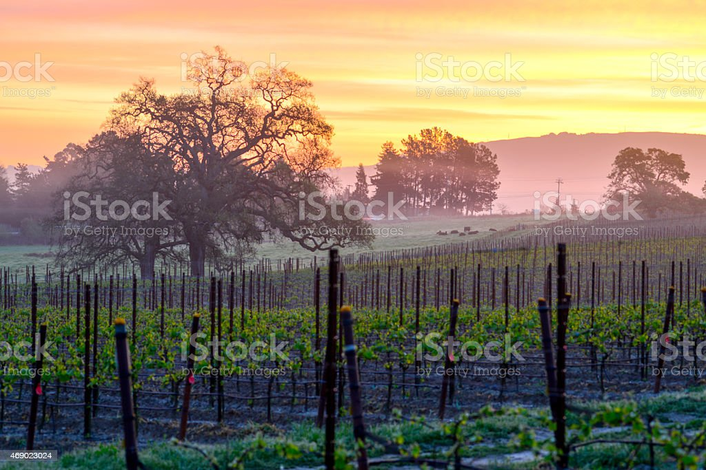 Vineyard Sunrise stock photo