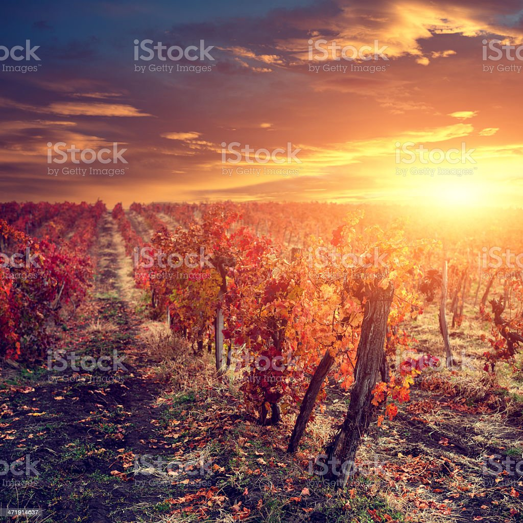 Vineyard Sunrise royalty-free stock photo