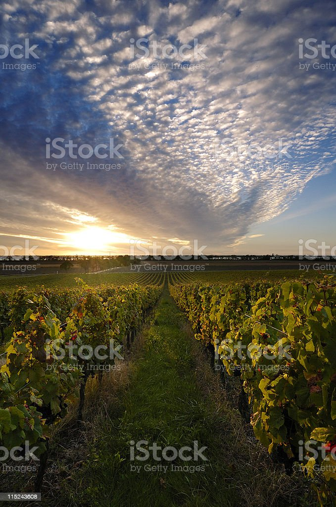 Vineyard sunset in france royalty-free stock photo