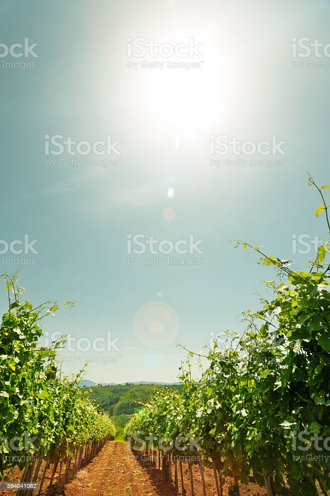 Vineyard sunset stock photo